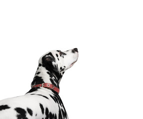 dalmatian dog white background isolate
