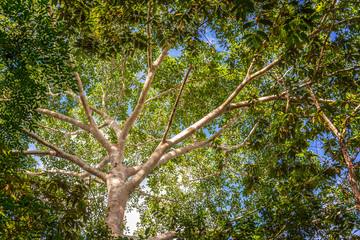 Looking up at the canopy of the jungle in the Amazon rain forest near Iquitos, Peru