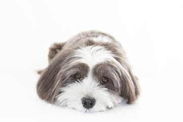 A cute black and white long hair dog lying down.