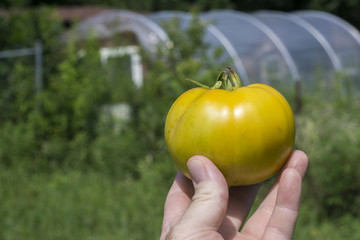 Yellow Heirloom Tomato In Farmers Hand
