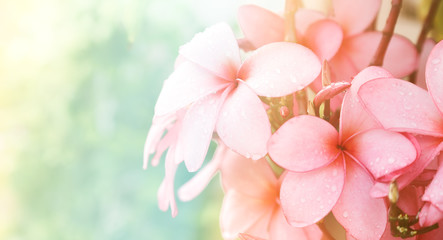 Keuken foto achterwand Frangipani Pink Plumeria