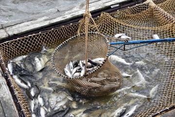 Salmon fishing season in Arctic