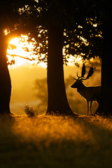 Wall Mural - Fallow deer buck silhouetted by the morning sunrise