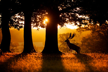 Wall Mural - Sunrise, silhouette of a fallow deer buck