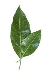 leaves mandarin