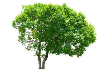 Green Tree isolated with white background