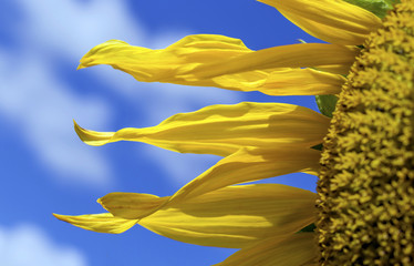 part of sunflower against the sky