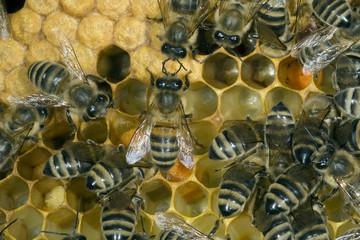 Honigbienen, Biene; Apis; mellifera