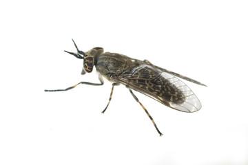 Bremse; Bremsen; Fliege; Tabanus Bovinus; Insekt;