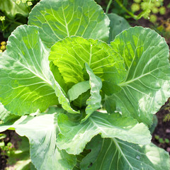 Cabbage on beds in the garden