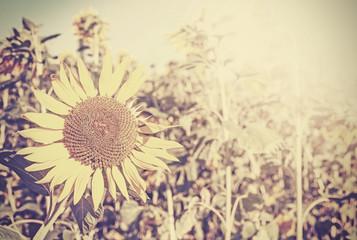 Retro toned sunflowers, nature background.