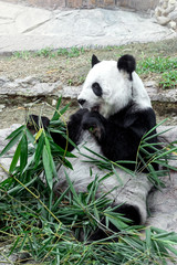 Lovely panda eating bamboo