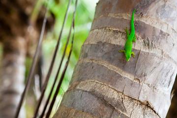 Grüner Gekko auf einer Palme, La Digue - Seychellen