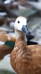 pato en el agua cabeza blanca y cuerpo marron con claro plumaje en galicia españa