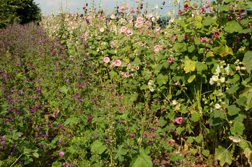 malva and hollyhock field in garden