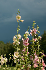 high hollyhock in dramatic light