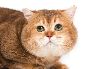 British gold ticked cat with green eyes on a white background.