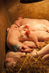 Baby Pigs Feeding from sow