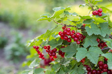 Red currant growing on a organic farm closeup