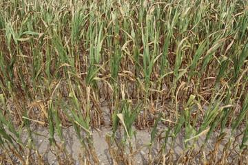 Trockene Maispflanzen auf einem Feld