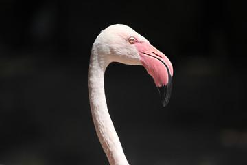 Greater flamingo (Phoenicopterus roseus).