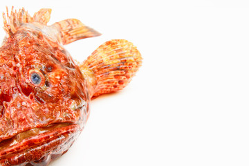 Mediterranean scorpion fish isolated on white