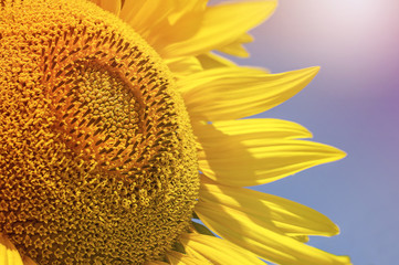 Close up of sunflower over blue sky