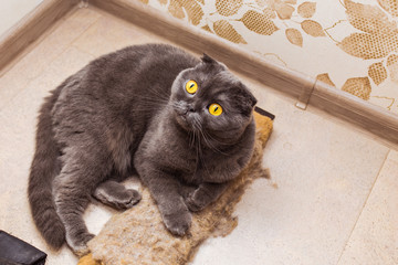 gray beautiful adult cat, breed scottish-fold,