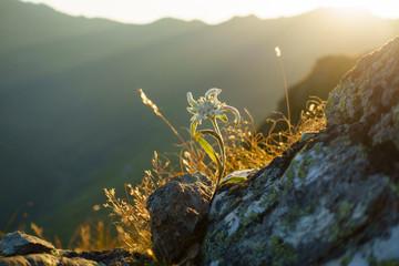 Fototapete - Edelweiss in den Alpen