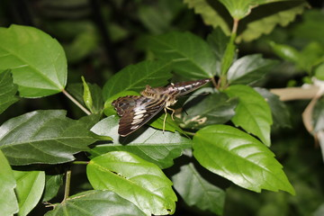 """Blue """"Clipper Butterfly"""" in Innsbruck, Austria. Its scientific name is Parthenos Sylvia, native to Southeast Asia. (No Photoshop, see my other butterfly images)"""