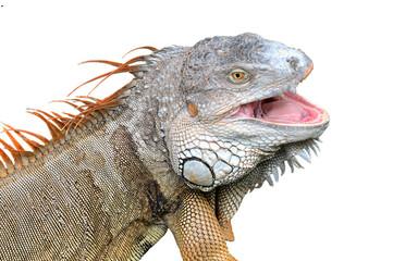 Iguana isolated on white background