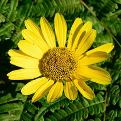 Wild Sunflower (Helianthus) with Bracken Fern (Pteridium aquilinum) in Background