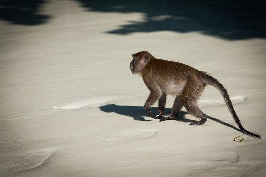 Monkey at the Monkey beach in Koh phi phi island,Thailand
