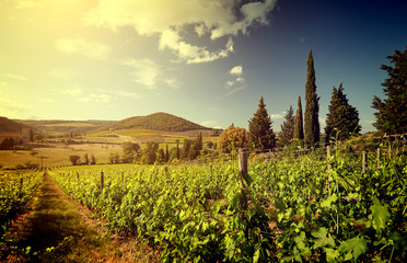 Papiers peints Vignoble Sunset in a vineyard in Italy