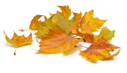 feuilles mortes de platane