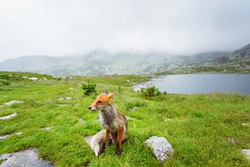 Red fox beside a mountain lake
