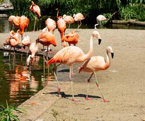 Caribbean flamingo.