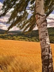 Birke im Sommerwind an einem Getreidefeld