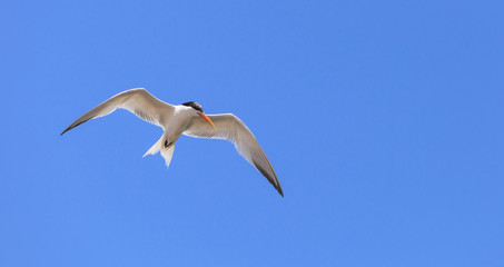 Elegant tern, Thalasseus elegans, flying across a blue sky in search of fish in Huntington Beach, Southern California