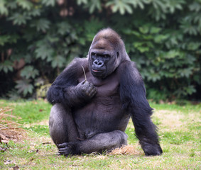 Gorilla looking straight in camera