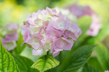 blossoming pink hydrangea lit with the sun