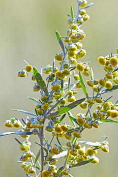 Полынь горькая (Artemisia absinthium). Цветущий куст