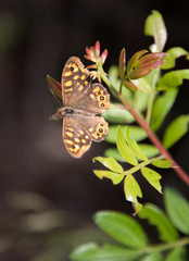 Speckled Wood butterlfy