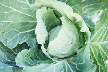 cabbage  farm