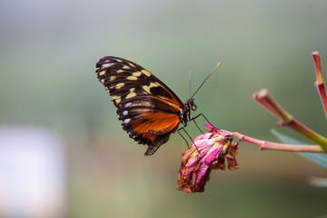 Plain tiger butterfly on dead flower