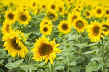 Sunflowers in a sunflower field