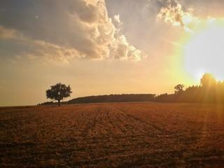 Einsamer Baum auf Feld im Sonnenuntergang