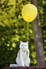 adorable british shorthair cat holding a balloon outdoors