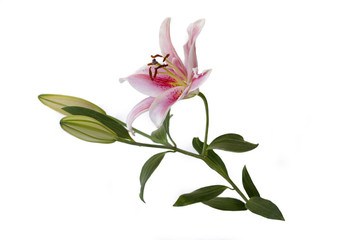 Lily photo on white background (isolated)