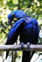 Ara, blue parrot